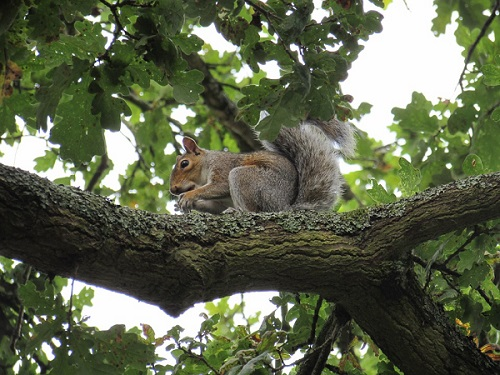 squirrel in oak tree